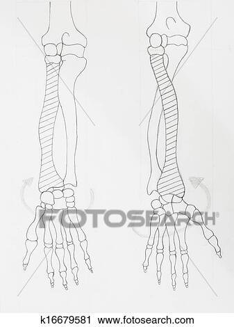Banco de Fotografías - detalle, de, huesos de brazo, dibujo a lápiz ...