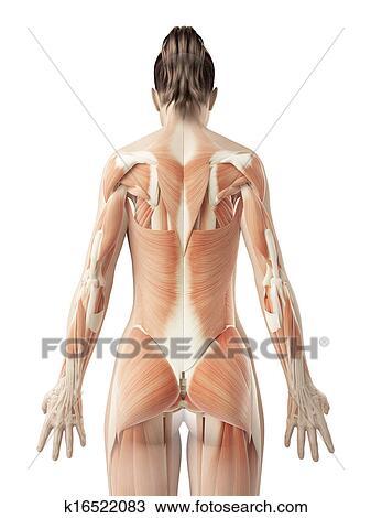 Dibujo - el, hembra, espalda, músculos k16522083 - Buscar Clip Art ...