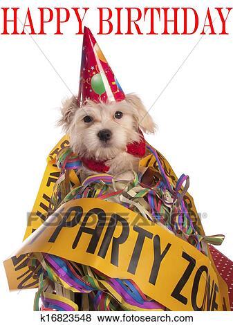 Immagini Maltese Cane Con Cappello Partito Con Compleanno