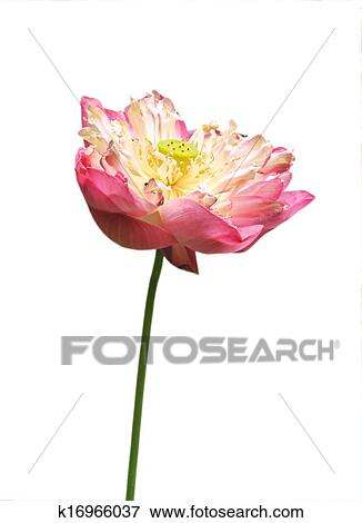 Pink Water Lily Flower Lotus And White Background The Is National For India A Important Symbol In Asian