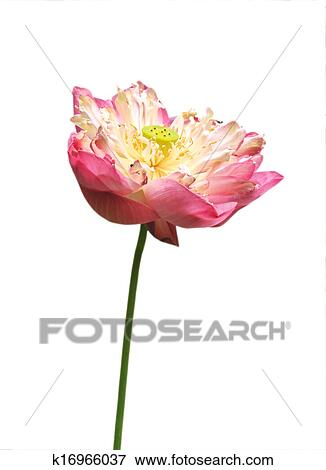Picture Of Pink Water Lily Flower Lotus And White Background The