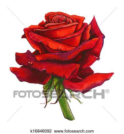 Rose Rouge Aquarelle Dessin