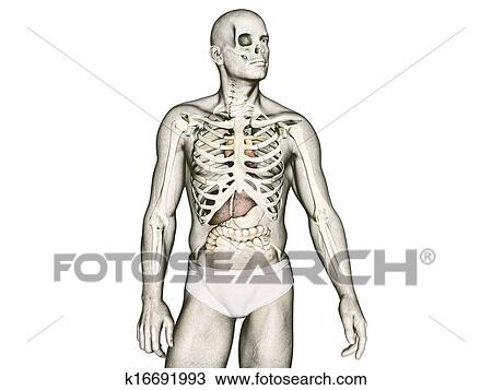 Ta Lidske Telo Anatomie Kresba K16691993