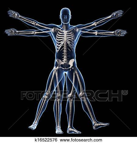 Stock Illustration Of Vitruvian Man Skeleton K16522576 Search