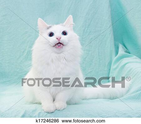 Archivio Di Immagini Gatto Bianco Con Occhi Blu Meowing Seduta