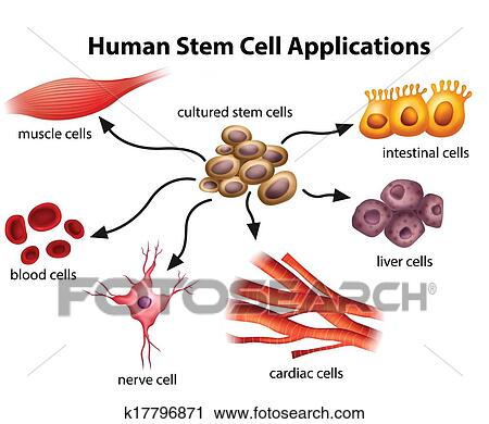 Human Stem Cell Applications Clipart K17796871 Fotosearch