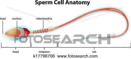 Clip Art of Sperm cell structure k17796706 - Search Clipart ...