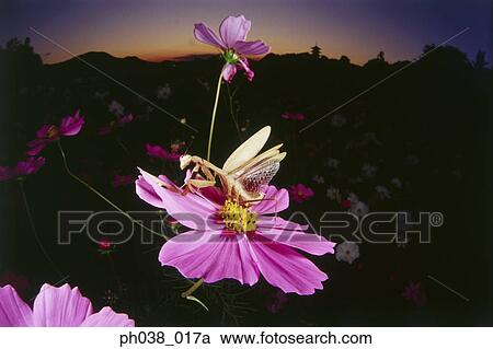 Praying Mantis Spreads Its Wings On Cosmos Flower Stock Image