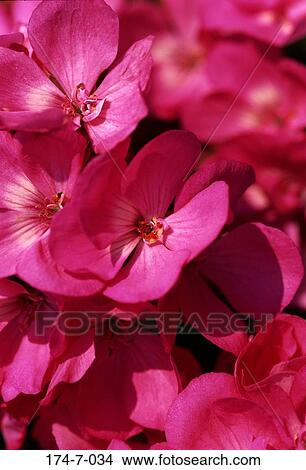 Stock Foto - blüte, draußen, blumen-, botanische, bluehende, bündel ...