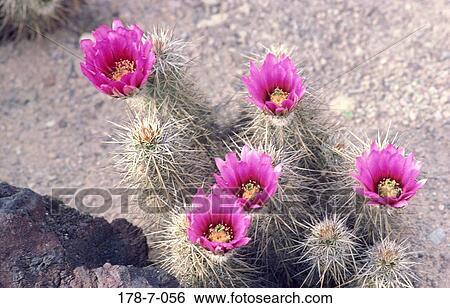 banque d'images - fleurs, désert, dehors, cactus, fleur, rose