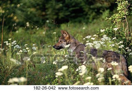 Colección De Foto Lobos Cachorros Animales Aire Libre Lobos