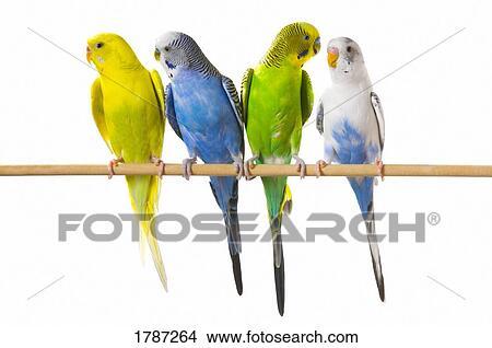 Μεγάλο μεξικάνικο πουλί pic