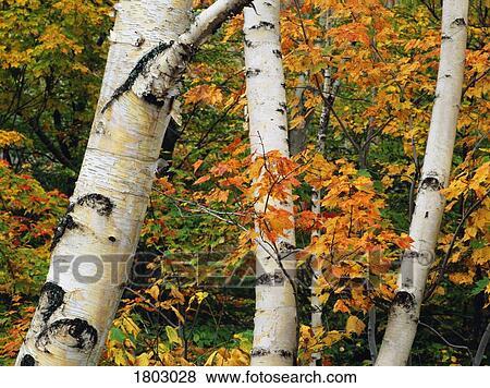 Images am ricain bouleau blanc troncs arbre et - Feuille de bouleau photo ...