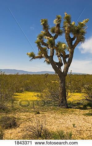 Joshua Tree In The Mojave Desert Los Angeles County California