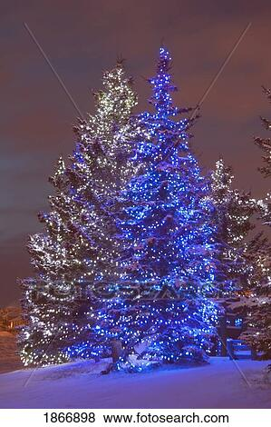 calgary alberta canada christmas lights on evergreen trees at sunset