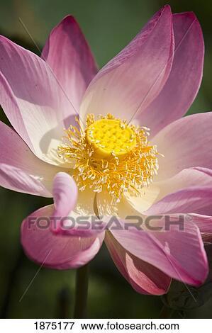 A Pink Lotus Flower (nelumbo Nucifera)