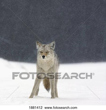 stock foto coyote canis latrans in zware sneeuwval in eland eiland nationale park. Black Bedroom Furniture Sets. Home Design Ideas