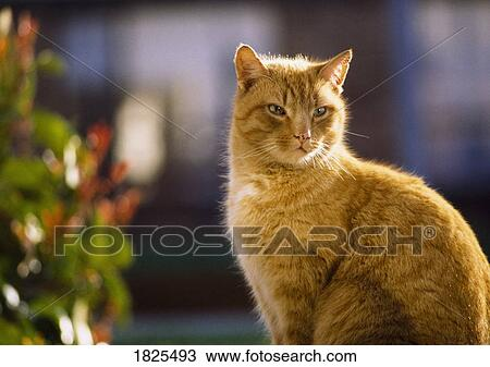 Stock Photo of Ginger Cat Sitting And Looking Into Distance 1825493 ... 9366c1afe461