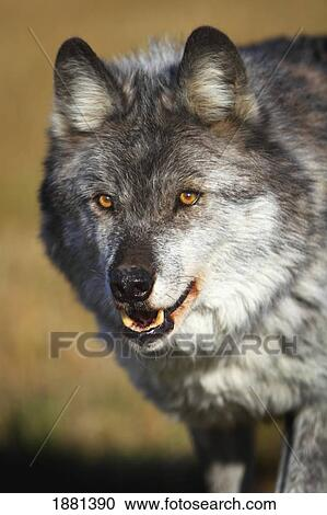 Archivio fotografico lupo canis lupus ; dorato columbia