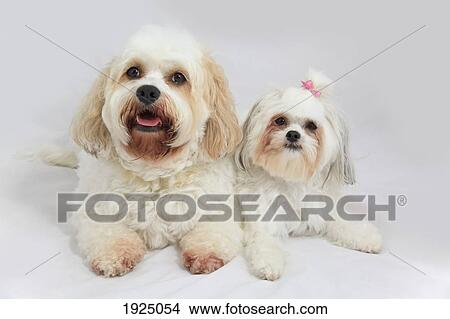 Bichon Frise Puppies For In Alberta - Pets Wallpapers
