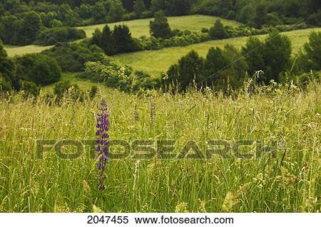 Grosse Gräser stock bild wildflower wachsen in a feld große gräser