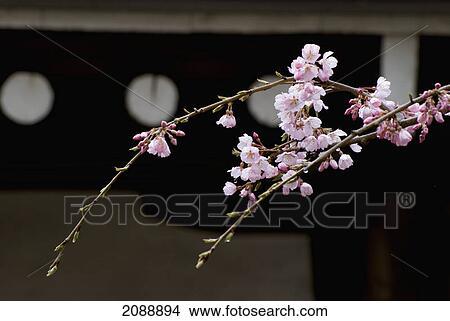 Ramo De Flor Cereja Frente Um Japoneses Templo Telhado Edge