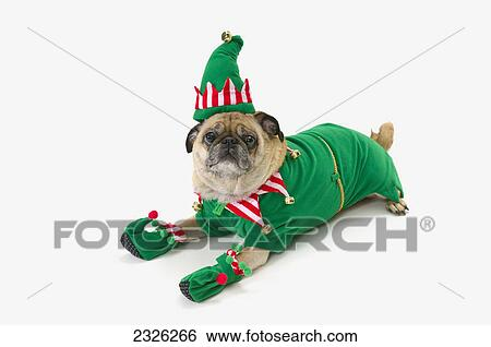 A pug in a christmas elf costume;St. albert alberta canada & Stock Images of A pug in a christmas elf costume;St. albert alberta ...
