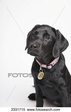 Black Lab Puppy With Pink Collar