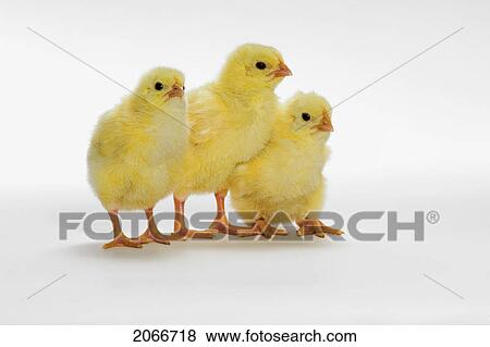 Pictures Of Yellow Chicks Baby Chickens 2066718 Search Stock