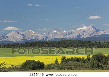 Stock Images of Flowering Canola Field Along A Green Field Framed By ...