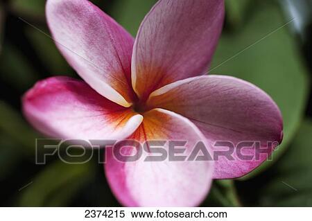 Stock image of close up of vivid pink plumeria flower koko crater close up of vivid pink plumeria flower koko crater botanical garden oahu hawaii united states of america mightylinksfo