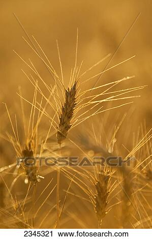 Agriculture - Closeup of mature harvest ready heads of ...