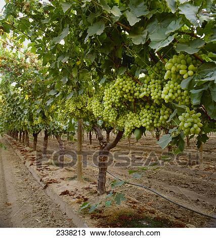 banque de photo agriculture m rir thompson seedless raisins table sur les vigne. Black Bedroom Furniture Sets. Home Design Ideas
