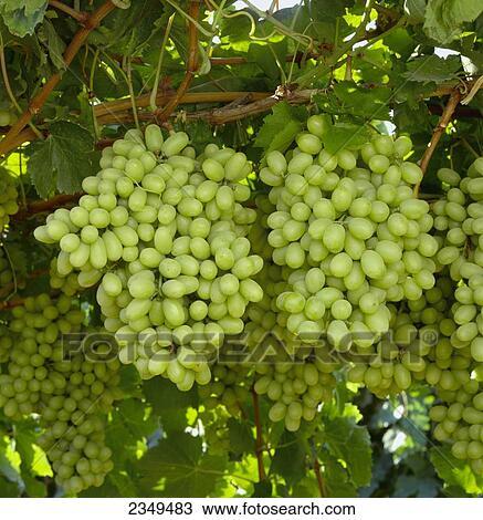 Mature on the vine