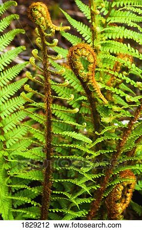 Close Up Of Ferns Plants Stock Image 1829212 Fotosearch