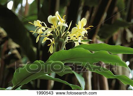 Stock Photo Of Close Up Sprig Of White Ginger Flowers On Plant