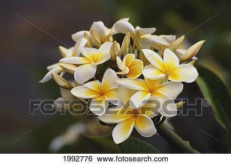 Stock Images Of Hawaii Cluster Of White Plumeria Frangipani
