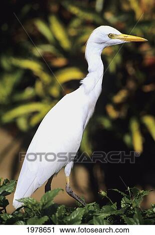 Stock Photography Of Usa Close Up Of White Egret Hawaii 1978651