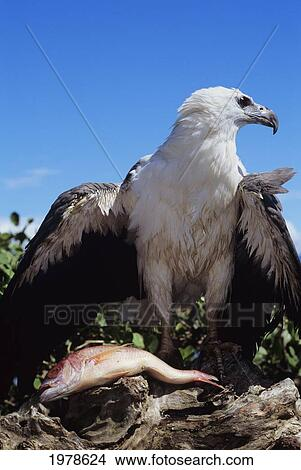 Stock Photo - White Bellied Sea Eagle (Haliaeetus Leucogaster) perching  over fish  Indonesia c271948484