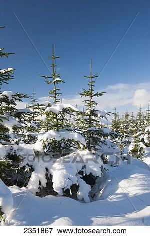 England Christmas Snow.Agriculture Norwegian Spruce Christmas Trees Covered In Winter Snow At A Tree Plantation England United Kingdom Stock Photo