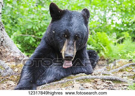 Stock Images Of Close Up Of A Black Bear Swarmed By Mosquitoes In