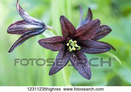 Close Up Of A Dark Purple Lily Stock Photograph 12311235highres