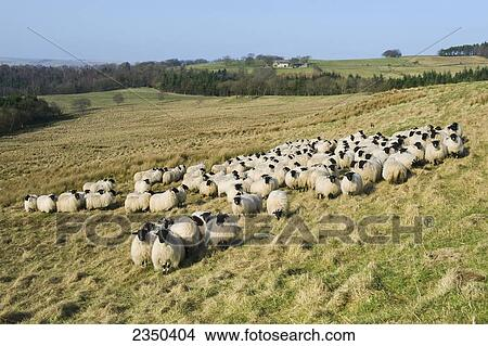 Livestock Hexham Type Blackface Gimmer Hoggs Hoggs Are