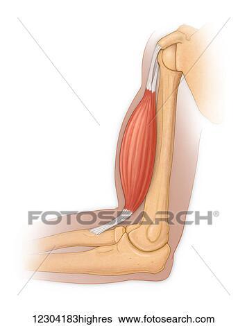 Vista lateral, de, un, normal, hombro, y, codo, coyuntura, actuación, el, bíceps, músculo, y, tendón Colección de imágenes