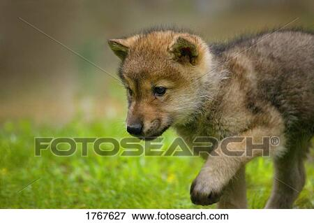 A Baby Wolf Stock Foto