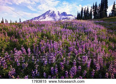 Archivio Immagini - prato, di, fiori viola, azzurramento, paradiso ...