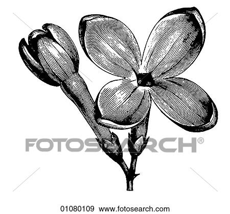 Flora Fauna Line Art A 19th Century Engraving Plant Flower