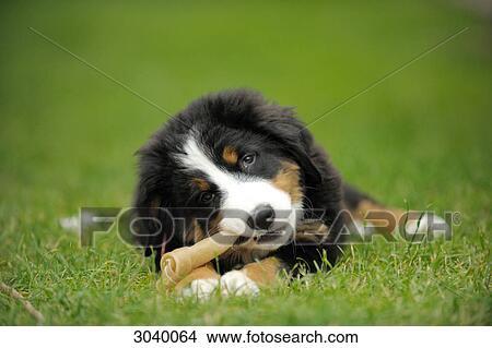 Stock Photo Of Bernese Mountain Dog Puppy Gnawing On Bone Close Up