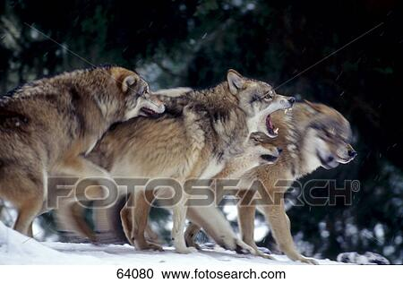 Gregge di lupi grigi canis lupus in foresta archivio