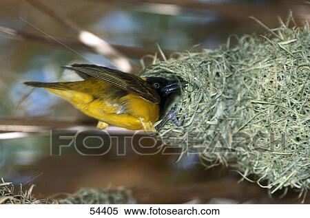 Lesser Masked Weaver Ploceus Intermedius Bird Building Its Nest